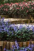 stock photo of salvia  - Blue Salvia Clary Sage  - JPG