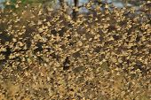 Red Billed Quelea - African Wild Bird Background - Flight of Thousands