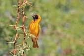 Southern Masked Weaver - Bird Background - African Thorns and Yellow Beauty
