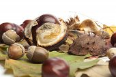 Horse Chestnuts, Conkers, Acorn, Autumn Leaves