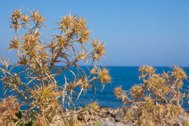 stock photo of spiky plants  - Dried plants of Crete Mediterranean island in front of the sea - JPG