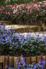 stock photo of clary  - Blue Salvia Clary Sage  - JPG