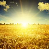 picture of fall-wheat  - Beautiful sunrise over a field of wheat - JPG