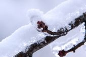 stock photo of coat  - A freezing rain has coated this maple tree bud in a coating of ice - JPG