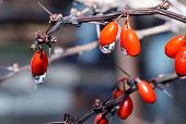 foto of barberry  - Drops of water on the berries of barberry in winter during snow melt  - JPG