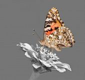 stock photo of zinnias  - Painted Lady butterfly feeding on a Zinnia flower  - JPG