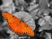 image of zinnias  - Dorsal view of a Gulf Fritillary butterfly feeding on a Zinnia - JPG