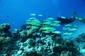 stock photo of butterfly fish  - Scuba diver  in  blue water - JPG