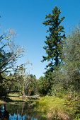 pic of ponds  - One tall pine near a natural pond - JPG