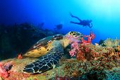 stock photo of sea-turtles  - Hawksbill Sea Turtle feeds on coral with people scuba diving in background - JPG