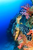 image of hawksbill turtle  - Hawksbill Sea Turtle eating soft corals - JPG