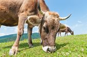 foto of cow head  - Head of a cow against a pasture - JPG