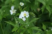 foto of strawberry plant  - Wild Strawberry plant blossoming beside an old country road - JPG