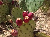 picture of prickly-pear  - Prickly pear cactus fruit tuna ready for picking - JPG