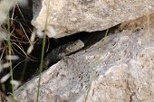 stock photo of lizard skin  - Lizard between the stones on the Greek island of Samos - JPG