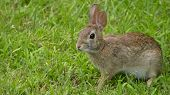 pic of hare  - Wild Hare or Rabbit in Green Grass - JPG