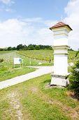 vineyard at Falkenstein, Lower Austria, Austria
