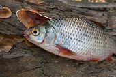 Постер, плакат: Several Common Roach Fish On Green Grass Catching Freshwater Fish On Natural Background