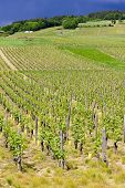 vineyards of Cote Maconnais region near Ige, Burgundy, France