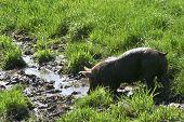 Thirsty Pig