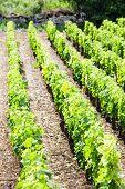 vineyard near Brochon, Cote de Nuits, Burgundy, France