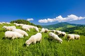 manada de ovejas, Mala Fatra, Eslovaquia
