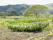 cosecha de tabaco, provincia de Ciego de Avila, Cuba