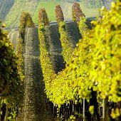 vineyards in Cejkovice region, Czech Republic