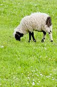 lamb on meadow, Bosnia and Herzegovina