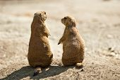 Prairie dog couple