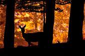 Deer silhouette in sunset
