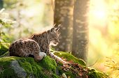 foto of endangered species  - Lynx and the morning sun - JPG