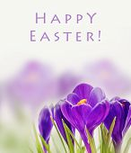 beautiful spring flower, crocus card for text