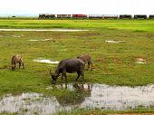Cows In Field, Burma