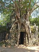 Banyan Tree Covering Entirely An Old Khmer Pyramid Temple, Bayon, Angkor Vat Temples, Cambodgia