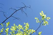 Live And Dry Branches Against The Sky. A Dried Branch Next To A Live Branch. New Green Leaves In Spr poster