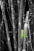 Coloraized Tree Frog