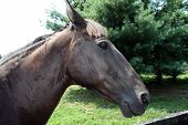 Horse Chestnut Brown Side View