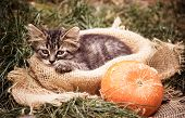 Sad Kitten. Kitten And Pumpkin. Kitten In The Autumn In The Garden poster