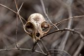 A Dirty And Cracked Cat Skull Caught In Tangled, Brown, Dead Vines.  The Skull Is Missing One Fang A poster