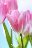 stock photo of flower arrangement  - tulips flowers on blue sky and sun - JPG