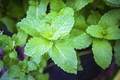 Mint Leaves, Peppermint Leaves Of Mint On Green Background, Closeup Of Fresh Mints Leaves Texture Or poster