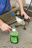 NETHERLANDS - OCT 9: An oil contaminated guillemot is cleaned at a local bird santuary October 9, 20