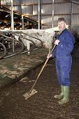 Farmer working to clean the floor in a stable, with live cattle - cows - in the background