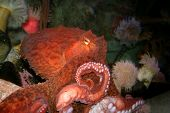Close view of a red octopus