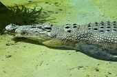 Saltwater Crocodile at Rest