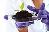 lab assistant holds small flat dish with soil and plant, wears violet gloves, isolated on white