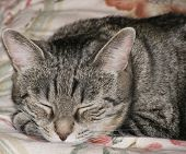 Portrait Of A Tabby Cat Sleeping At Home poster
