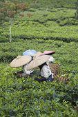 Catadores de chá