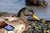 A Moulting Mallard Drake With An Eel In Its Beak poster